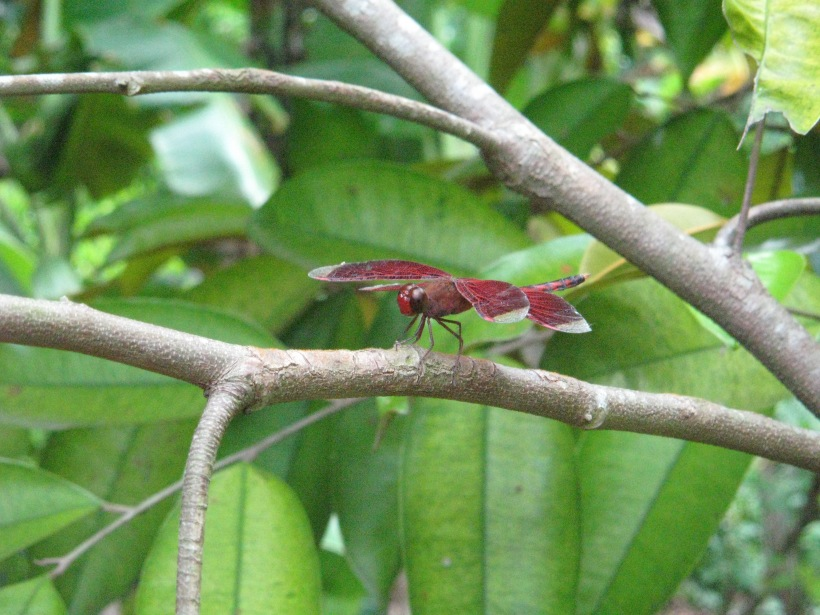 close up red dragonfly