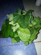 Moringa Oleifera (Malunggay), Indian Spinach (Alugbati/Basella), Bitter Melon (Ampalaya), and Kangen Water